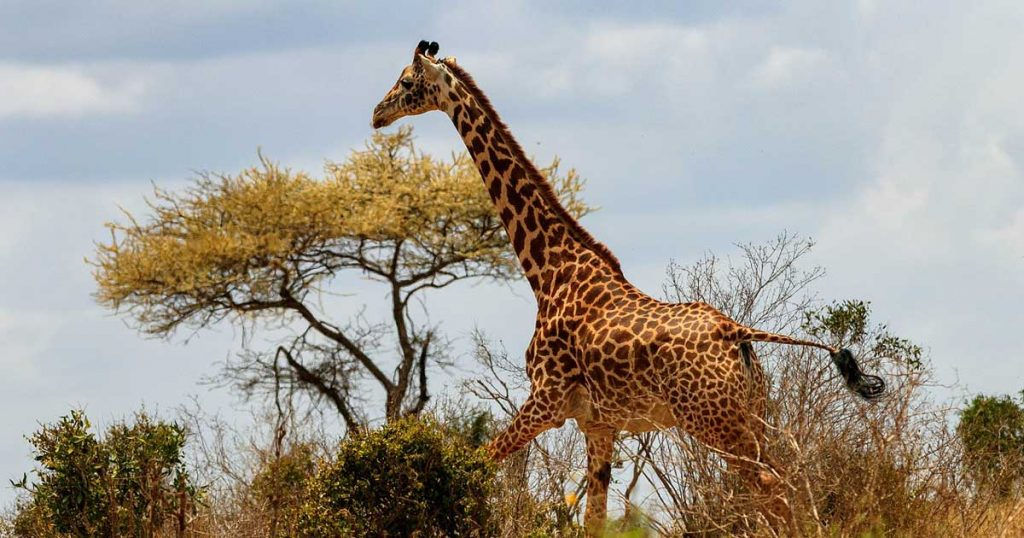 Yikes. Giraffes Now on Endangered Species List
