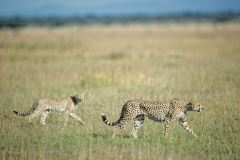 cheetah-coalition-vast-safari-Singita-Sasakwa-Tanzania