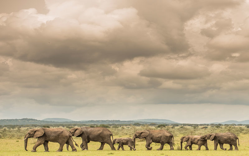 elephants like these are a highlight of photography safari