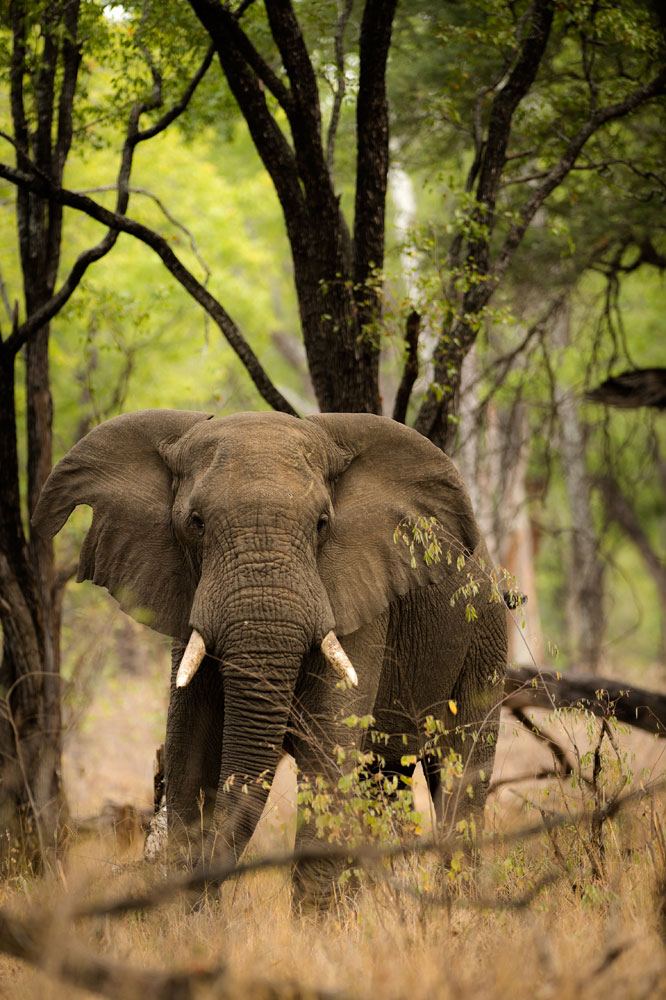 an elephant staring through the trees