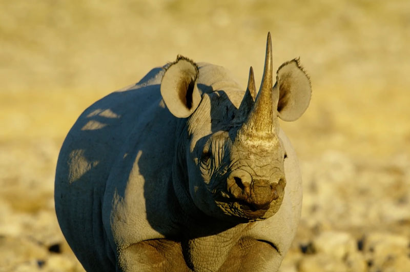 seeing a black rhino on an African safari