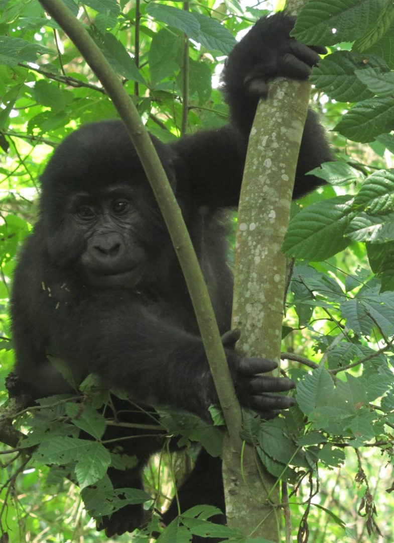 a baby gorilla in the the Uganda rainforest