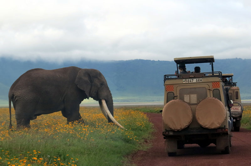 an elephant leans over the vehicle on a Ngorongoro Crater safari