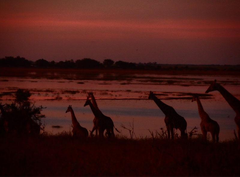 giraffe are common on all the best Botswana luxury safaris
