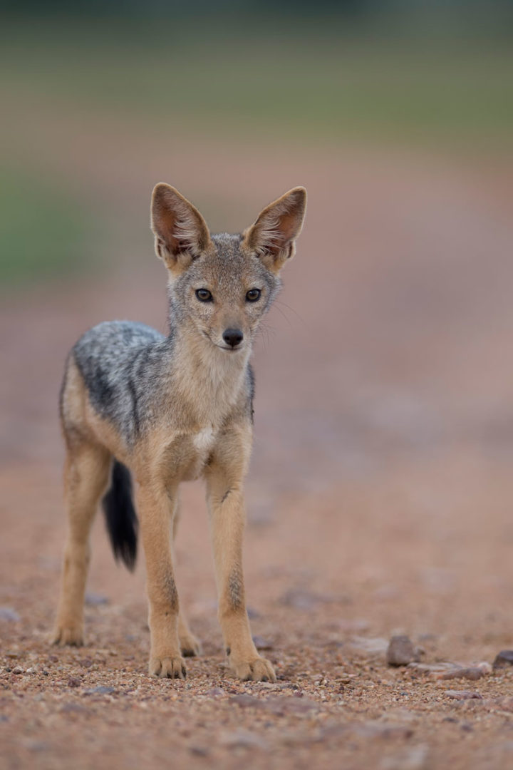 Capturing a jackal on an African photo safari