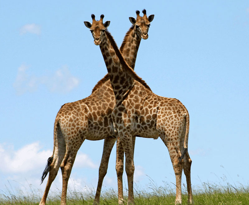 two giraffe standing side by side
