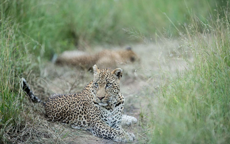 a leopard on the trail on a luxury African safari