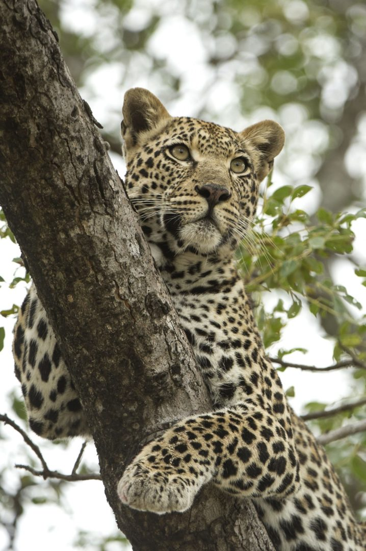 seeing a leopard on an African family safari