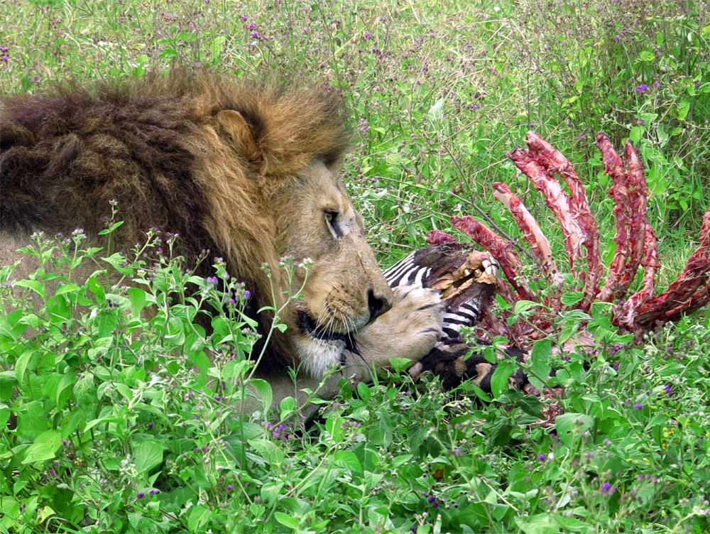 a lion eating a zebra on the best luxury private African safaris