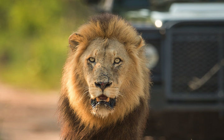 a lion spotted on a Singita safari