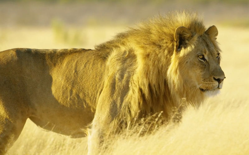 getting close to a lion on the best luxury African safari