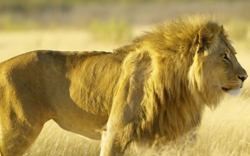 the best luxury African safaris always encounter lions