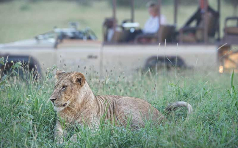 a lioness in the grass