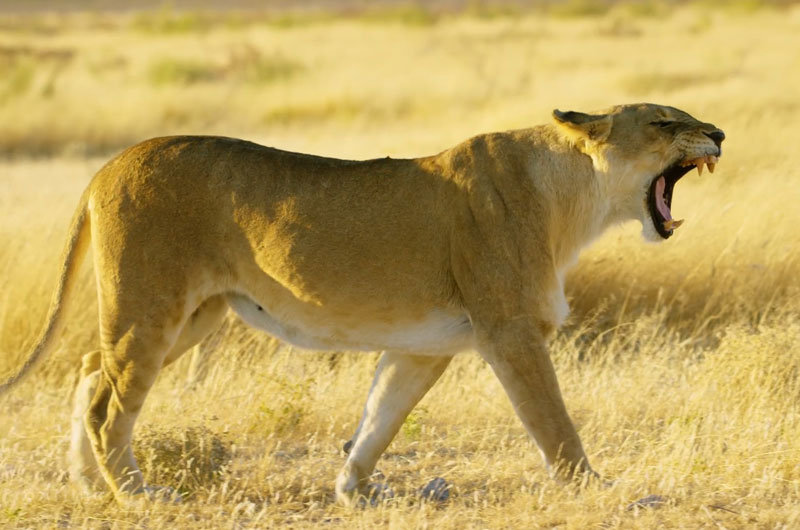 this article explains where to stay on safari so you are close to lions like this