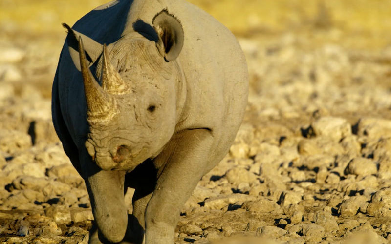 a black rhino in Etosha National Park