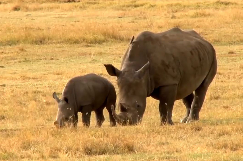 more than half the world's rhinos live in South Africa