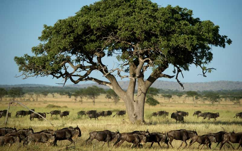 wildebeest on their annual migration across the Serengeti