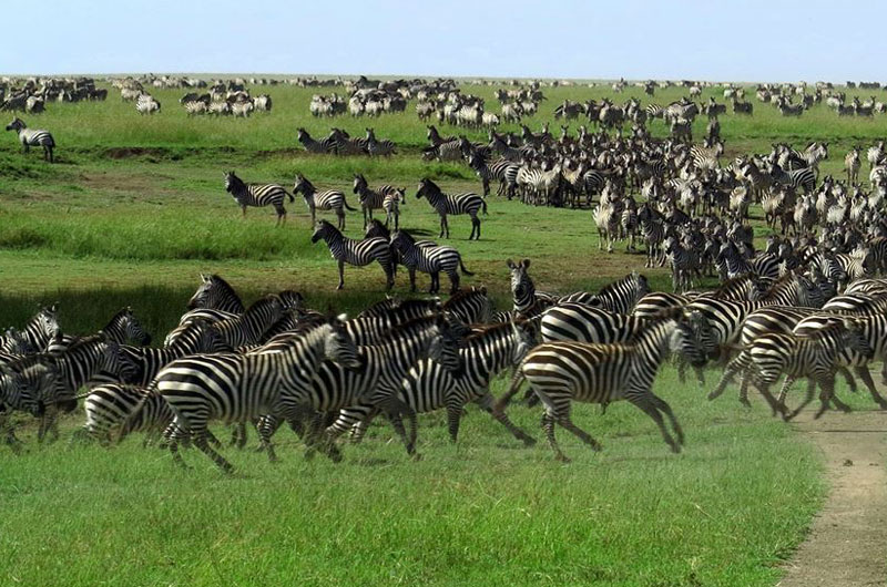 getting close to a huge herd of zebra