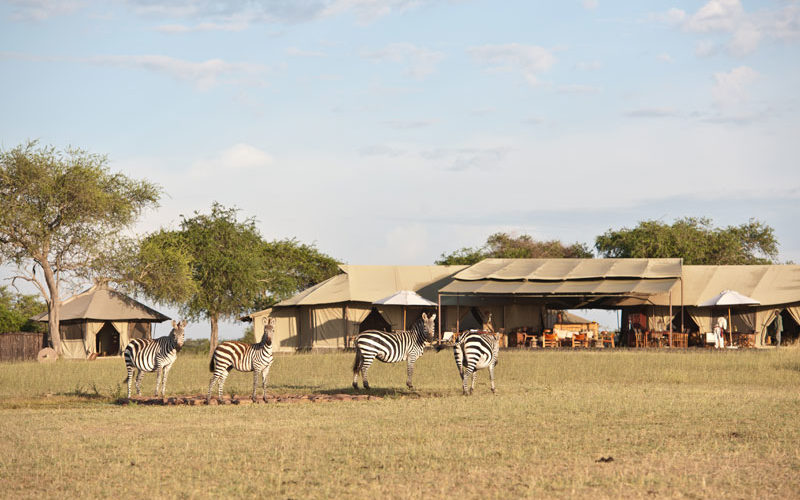 zebra walking past a camp in Tanzania