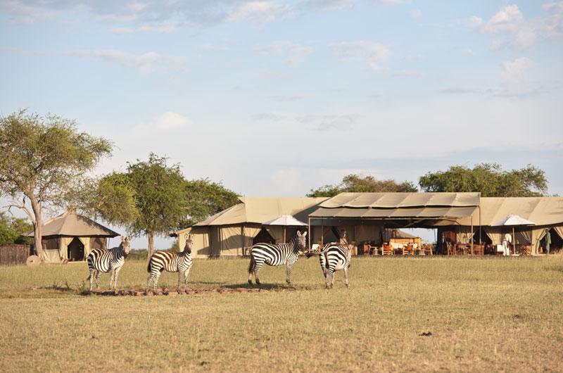 zebra walking past a camp in Tanzania
