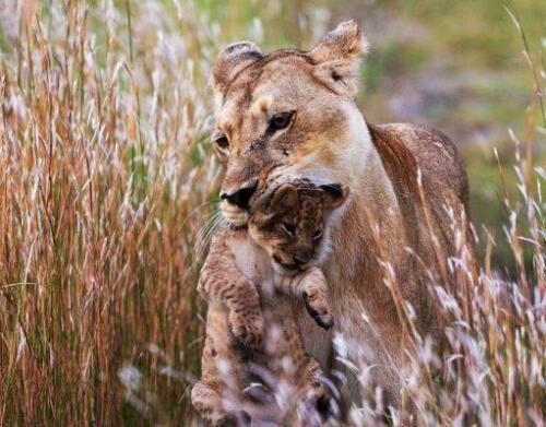 BOTSWANA-Kings-Pool-Lions