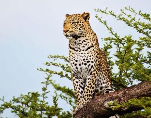 BOTSWANA-chitabe-leopard