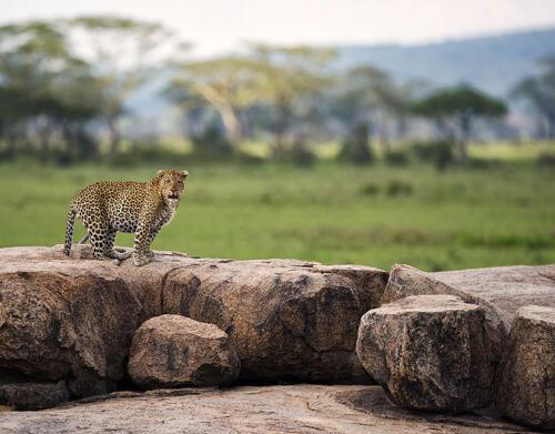 Dunia-Leopard-Moru-kopjes-serengeti-safari