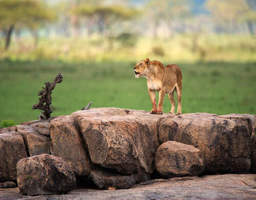 Dunia-Lioness-dunia-camp-after-eating-LR