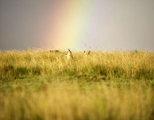 Dunia-Lioness-yawn-Serengeti-Safari-rainbow