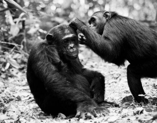 chimpanzees1-511x400