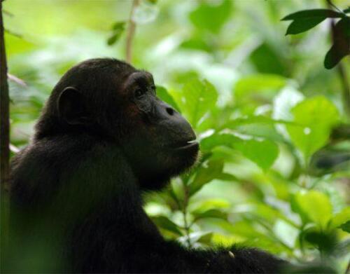 mahale-chimps-511x400