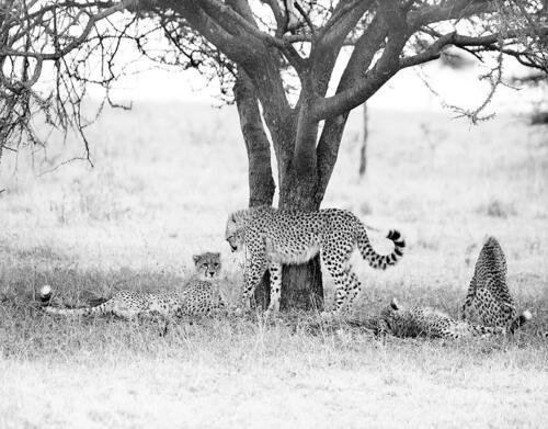 namiri-Cheetah-cubs-Soit-Lemontonye-MR