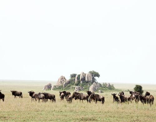 namiri-Wildebeest-Soit-Lemontonye-HR