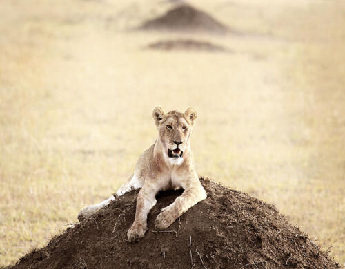 namiri-Young-Lioness-Soit-Lemontonye-MR
