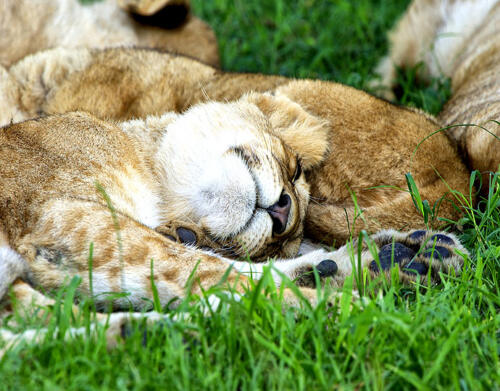 olivers-Lion-sleeping-in-green-grass-Naboisho-Conservancy-MR
