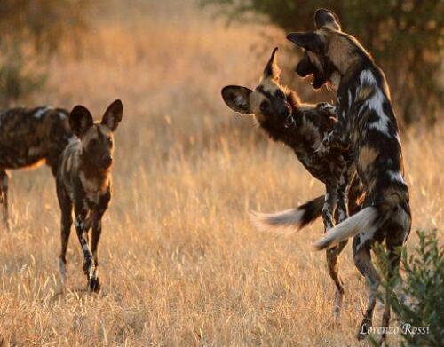 KwihalaWilddogs-Ruaha-National-Park-Lorenzo-Rossi-LR-511x400