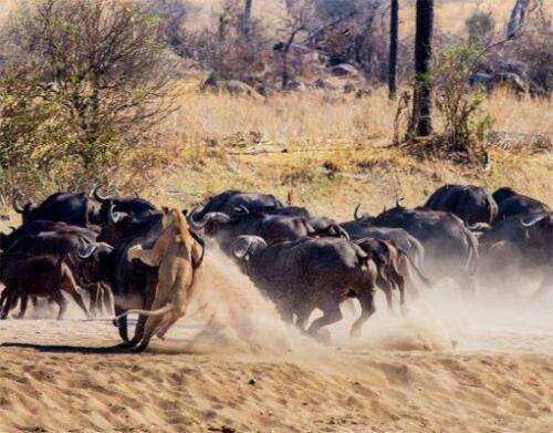 Ruaha-Safaris-SamS1-511x400